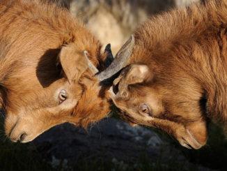 Zwei Ziegen duellieren sich mit ihren Hörnern.