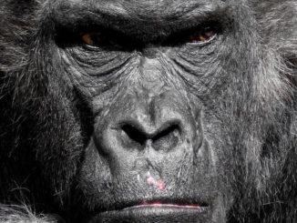 gorilla affe menschenaffe zoo silberrücken grimmig