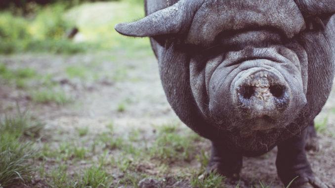 tier schnauze wildschwein hausschwein